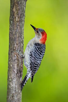 Virginia Woodpecker